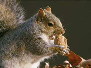 An Eastern Gray Squirrel Eats a Walnut by Chris Johns