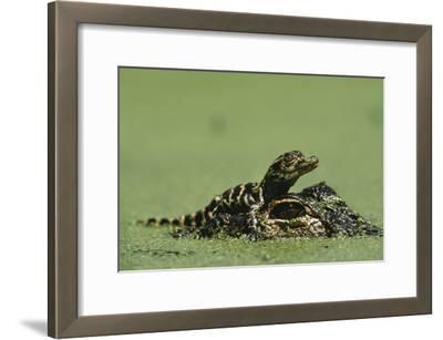 Baby Alligator On Mother's Head Among Duckweed