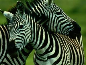 Burchells Zebras by Chris Johns