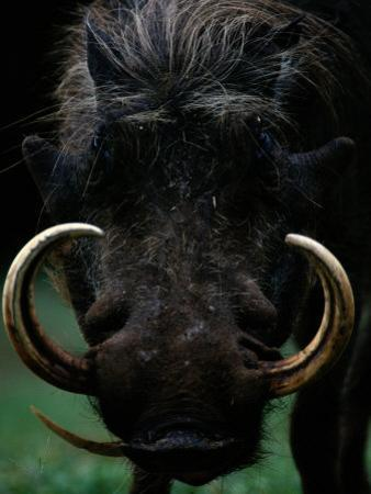 Close-up of a Warthog with an Immense Pair of Tusks