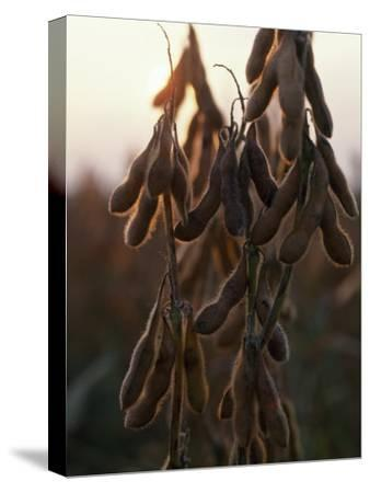 Drying Soybean Pods on the Bush at Twilight
