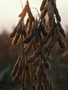Drying Soybean Pods on the Bush at Twilight by Chris Johns