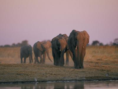 Elephants Roam the Plains of Moremi Game Reserve by Chris Johns