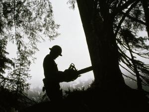 Helmeted Logger Preparing to Fell a Tree with a Chainsaw by Chris Johns