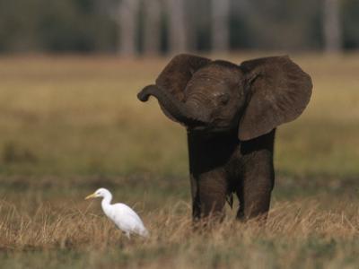 Juvenile African Elephant (Loxodonta Africana) Sensing on its Own, Zambezi Rive R Area by Chris Johns