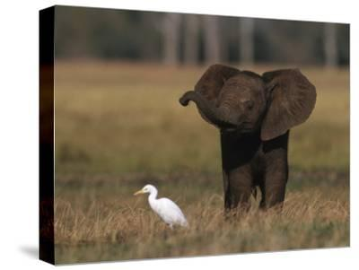 Juvenile African Elephant (Loxodonta Africana) Sensing on its Own, Zambezi Rive R Area