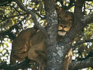Lioness Resting in the Crotch of a Tree by Chris Johns