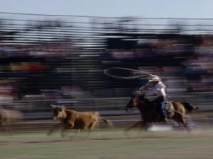 Rodeo Cowboy Trying to Lasso a Running Steer by Chris Johns