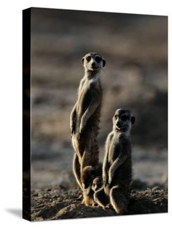 Suricates Stand Alert to Danger with Their Young at Their Feet