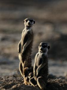 Suricates Stand Alert to Danger with Their Young at Their Feet by Chris Johns