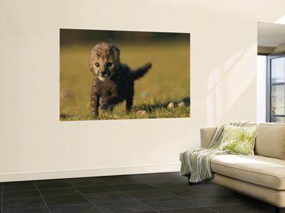 View of a Rare King Cheetah