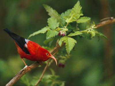 View of an Iiwi Bird on Akala or Hawaiian Raspberry by Chris Johns