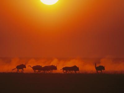 Wildebeests in twilight, Zambezi River area by Chris Johns
