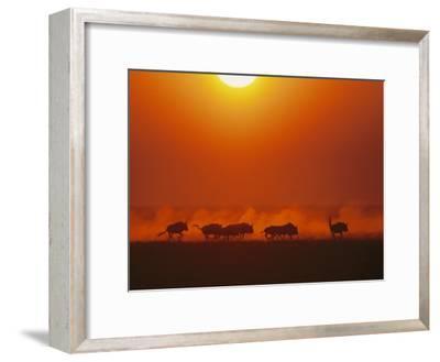 Wildebeests in twilight, Zambezi River area