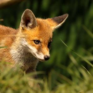 Red Fox Cub in the Grass by Chris Jolley