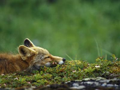Red Fox by Chris Linder