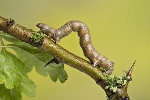 Geometer Moth (Geometridae) Caterpillar Also Known As A Looper Or Inch-Worm Caterpillar by Chris Mattison