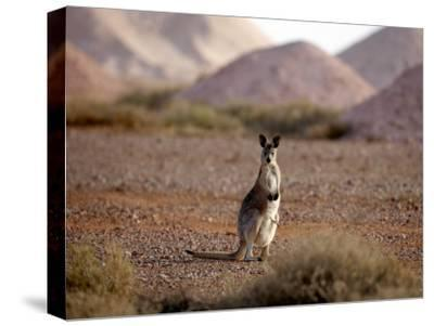 Kangaroo in Opal Mining Area in Coober Pedy in the South Australian Outback by Chris Mclennan
