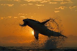 Great White Shark (Carchardon Carcharias) Breaching On Seal Decoy At Dawn, False Bay, South Africa by Chris & Monique Fallows