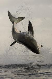 Great White Shark (Carcharodon Carcharias) Breaching On Seal Decoy, Seal Island, False Bay by Chris & Monique Fallows