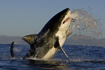 Great White Shark (Carcharodon Carcharias) Breaching Whilst Attacking Seal Decoy by Chris & Monique Fallows