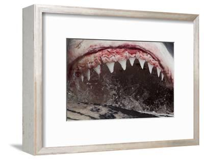 Great White Shark (Carcharodon Carcharias) Feeding
