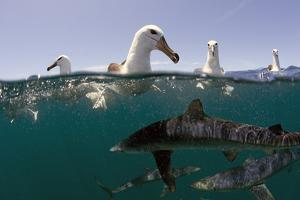 Shy Albatros (Thalassarche Cauta) Swimming At Surface With Blue Sharks (Prionace Glauca) Below by Chris & Monique Fallows