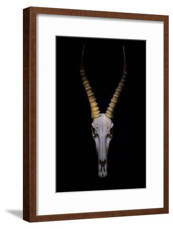 Antelope Skull Floating on Background.