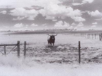 Longhorn Steer, CO