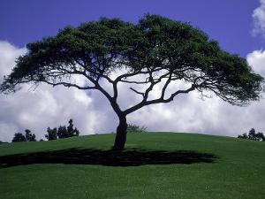 Shade Tree on Grassy Hill by Chris Rogers