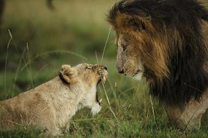 A lioness refuses the advances of the male during a prolonged courtship under a light rain by Chris Schmid