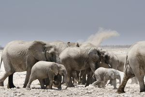 African elephants, Loxodonta africana, at a waterhole in Etosha National Park. by Chris Schmid
