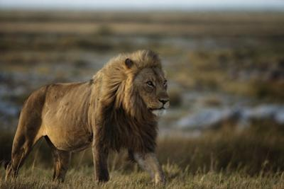 Male Lion early in the morning in Etosha National Park. by Chris Schmid