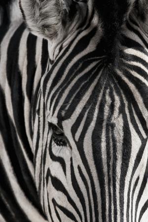 Portrait of a plains zebra, Equus burchellii, in Etosha National Park. by Chris Schmid