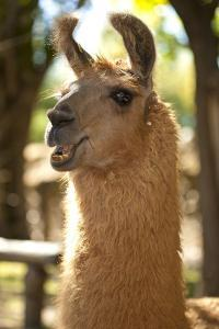 Argentina, Patagonia, Junin De Los Andes, Farm, Llama, Portrait by Chris Seba