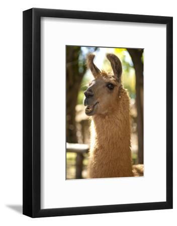 Argentina, Patagonia, Junin De Los Andes, Farm, Llama, Portrait