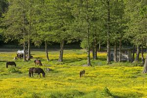 Germany, the Baltic Sea, Western Pomerania, Island R?gen, Broom Blossom, Paddock by Chris Seba