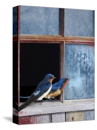Barn Swallows Window