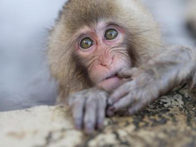 Japanese Snow Monkeys Bathing in Hot Spring Pools at Jigokudani Onsen, Nagano Prefecture, Japan