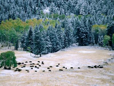 Bison Herd in First Snow, Lamar Valley, Yellowstone National Park, Wyoming