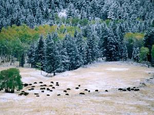 Bison Herd in First Snow, Lamar Valley, Yellowstone National Park, Wyoming by Christer Fredriksson