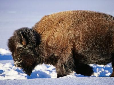 Bison in Snow, Yellowstone National Park, U.S.A.