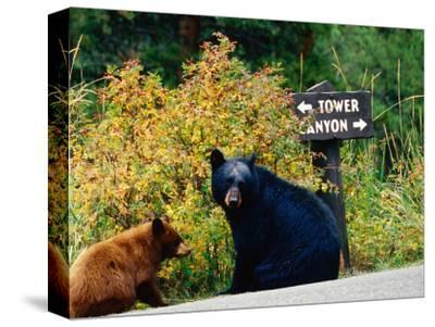 Black Bear with Cub Sitting by Road with Signpost in Background, Yellowstone National Park, Wyoming
