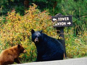 Black Bear with Cub Sitting by Road with Signpost in Background, Yellowstone National Park, Wyoming by Christer Fredriksson