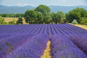 Europe, France, Provence, Gordes, Lavender fields. by Christian Heeb