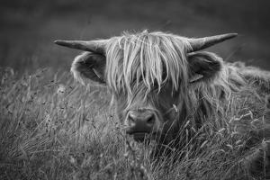 Europe, United Kingdom, Scotland,Hebrides archipelago, Isle of Skye, Bos taurus, Highland cattle by Christian Heeb