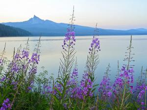 Mount Thielson, Fireweed, Epilobium Angustifolium, Diamond Lake, Douglas County, Oregon, USA by Christian Heeb