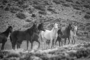 South America, Patagonia, Argentina, Santa Cruz, wild horses near Cueva de los Manos, by Christian Heeb