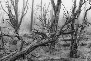 USA, Colorado, Mesa Verde, National Park, burnt forest in the fog by Christian Heeb