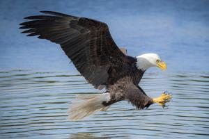 USA, Louisiana, Houmas, Bald Eagle, Haliaeetus leucocephalus by Christian Heeb
